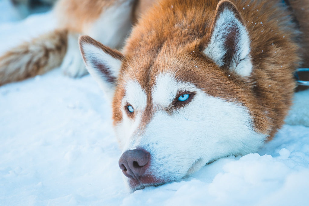What Is The Best Dog Food For Huskies?