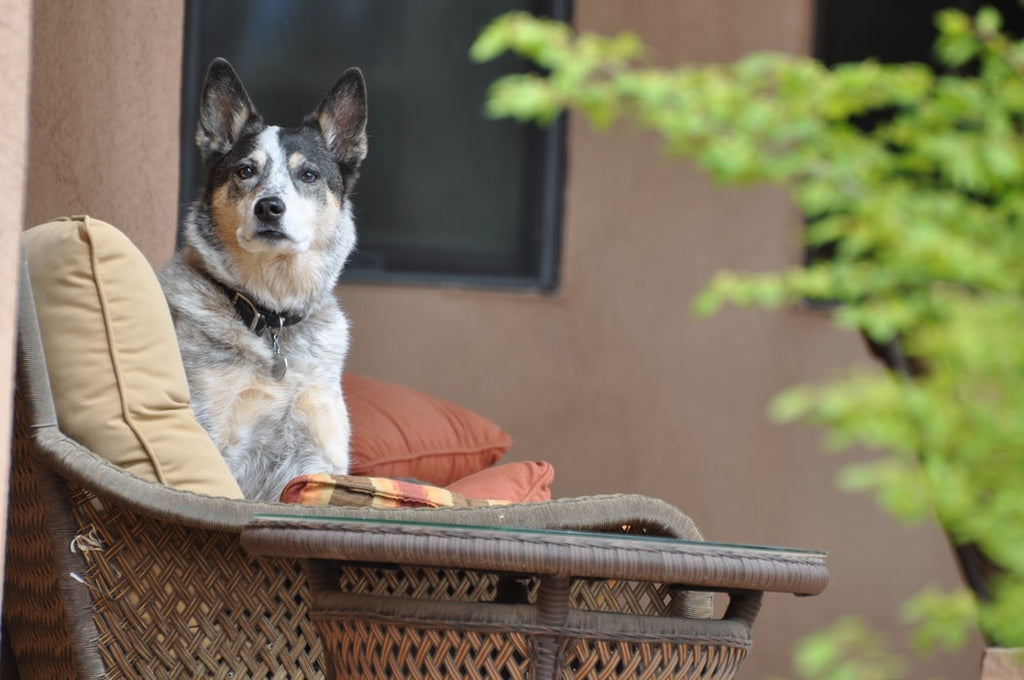 Best Things to Know When Getting an Australian Cattle Dog Rescue