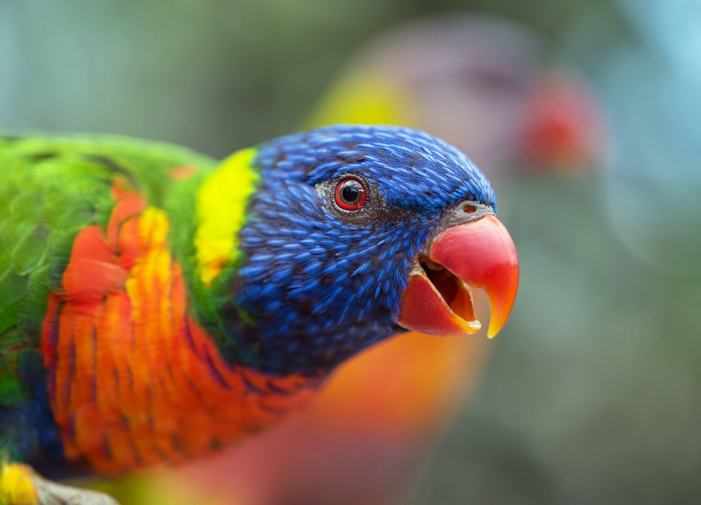 You Need to Know These 5 Types of Lorikeets