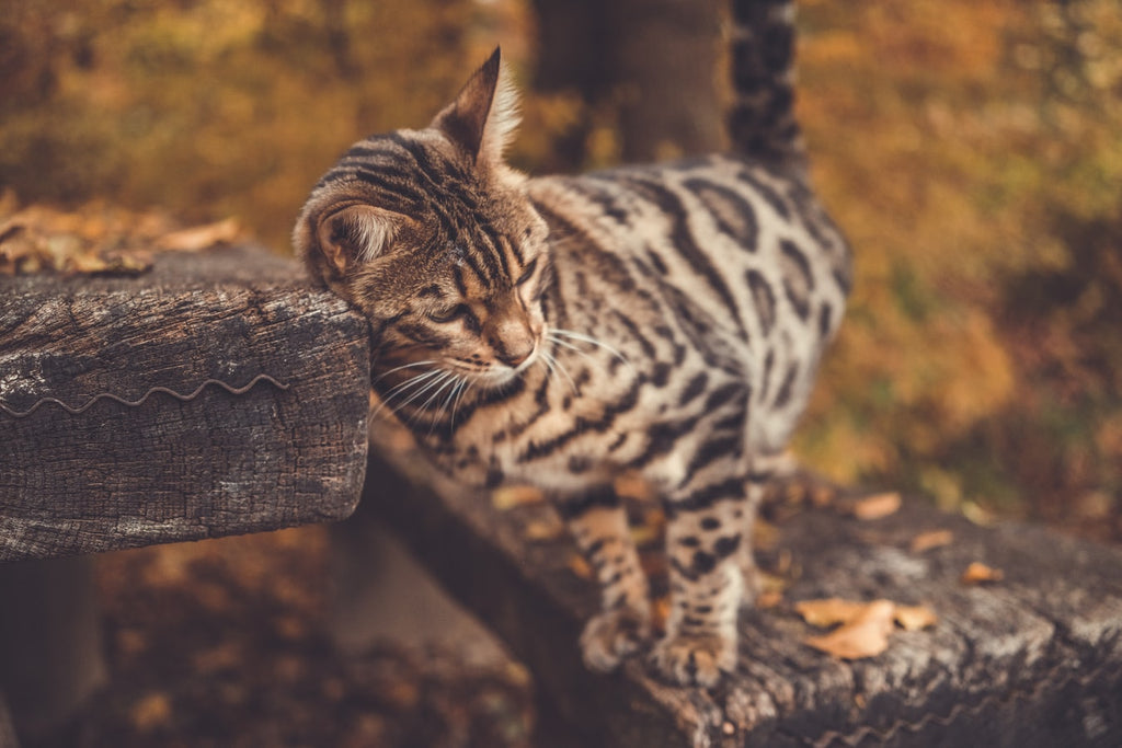 Bengal Cat Adoption: Everything You Need to Know