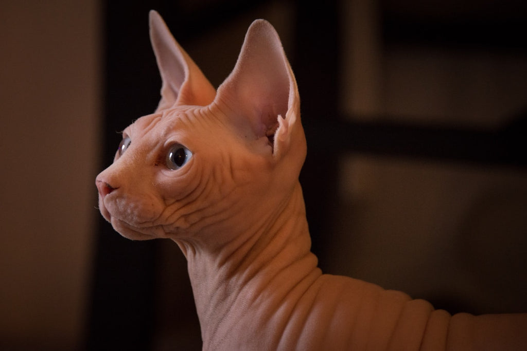 Sphynx Cat Adoption: How to Care for the Perfect Hairless Cat