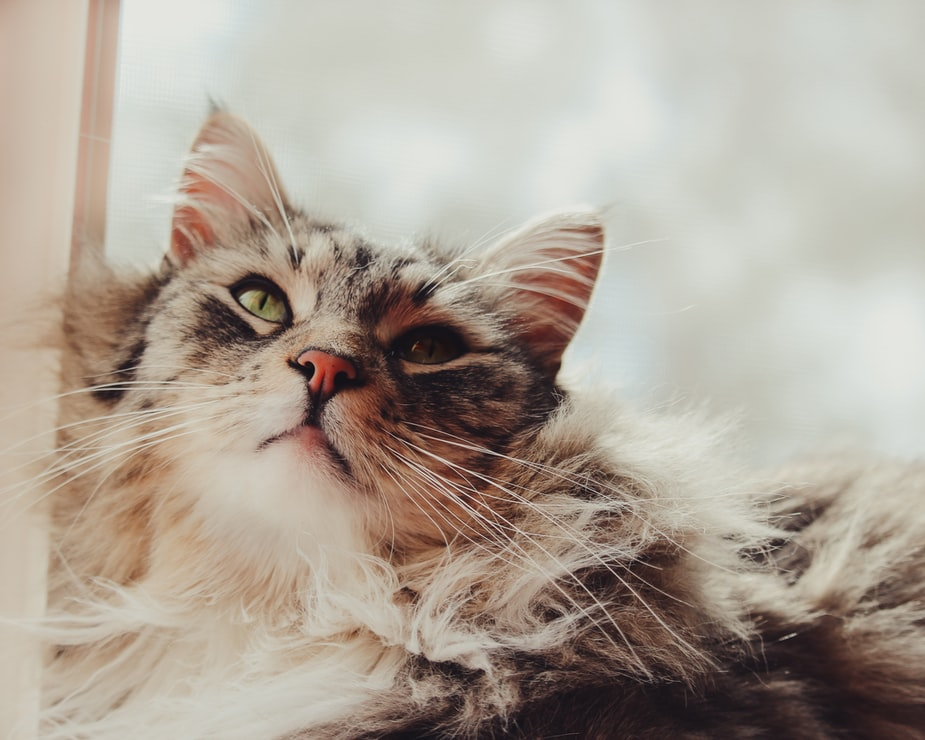 Considering a Cat? Here Are the Best 5 Large Cat Breeds
