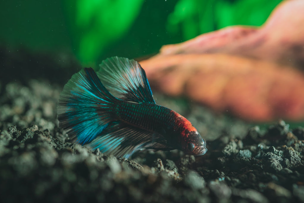 Do Betta Fish Sleep?