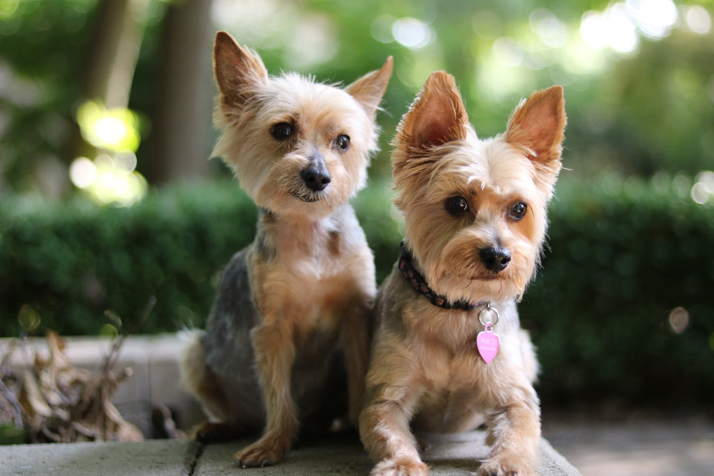 Types of Yorkies and How to Care for Them