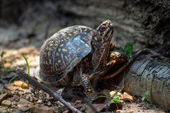 Box Turtle Care