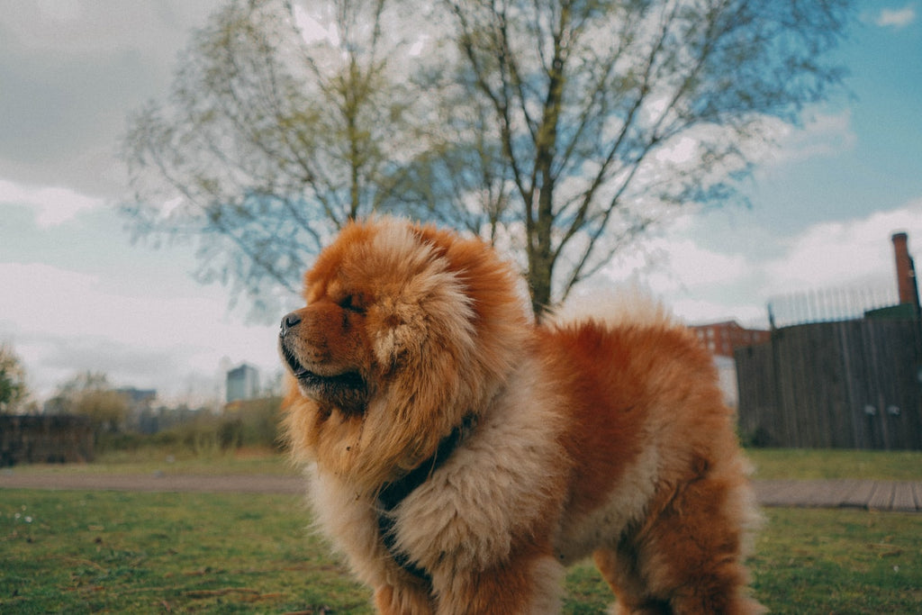 Everything You Need To Know About the Chow Chow Dog Breed
