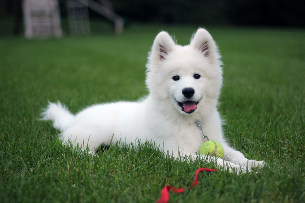 What Are The 7 Best Big Hypoallergenic Dogs