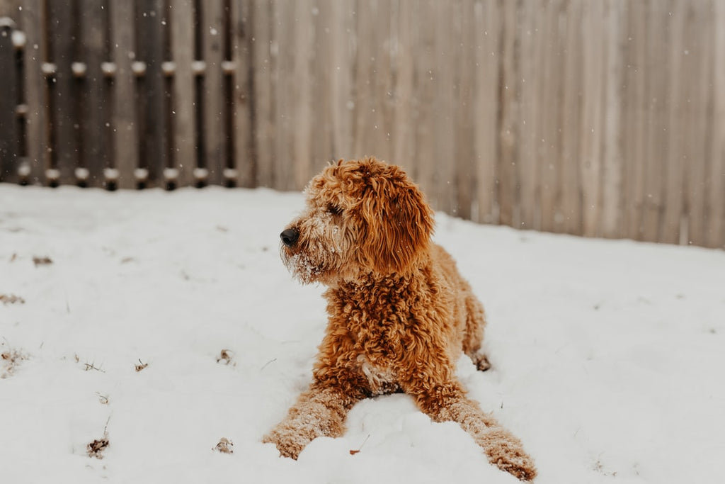 What Is The Best Dog Food For Goldendoodles?