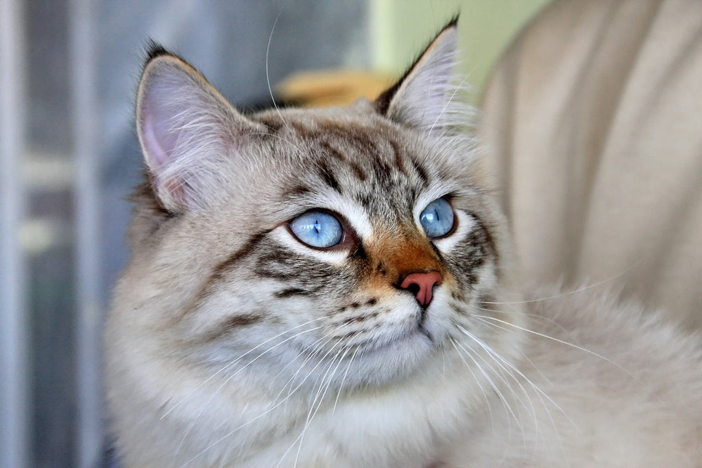 Best Cat Breeds: Choosing the Right Cat