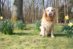 What Is The Best Dog Food For Golden Retrievers?