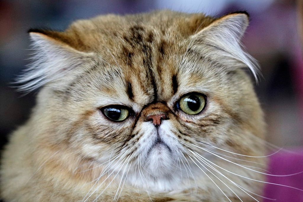6 Exotic Cat Breeds You Need To Know