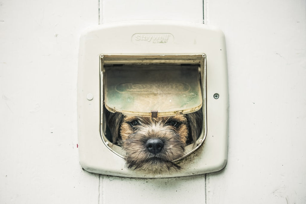 Border Terrier Adoption: What to Expect