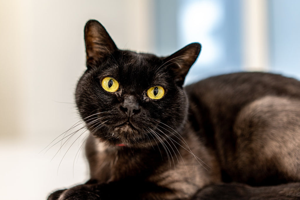 Top Facts to Know About the Black Bombay Cat