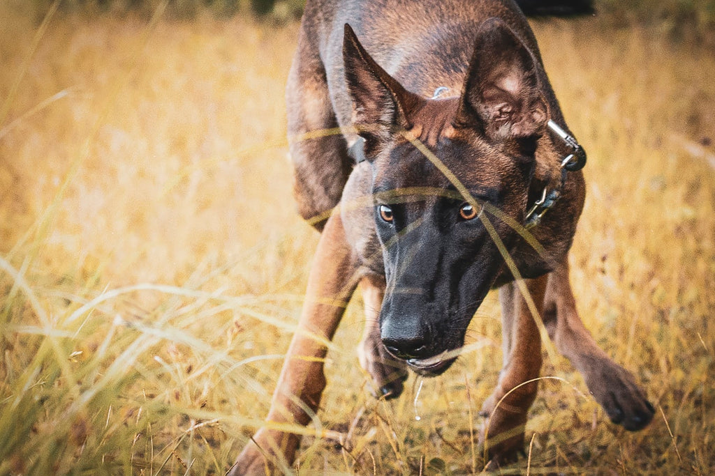 Belgian Malinois Dog: What to Know Before Adopting