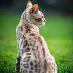 Snow Bengal Cat: What You Need To Know About This Adorable Breed