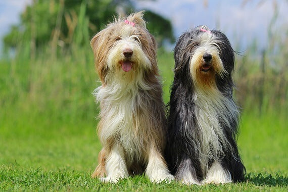 Bearded Collie Puppies: Everything You Should Know