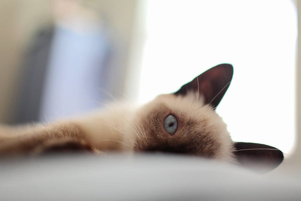 The Official Guide To Adopting Siamese Kittens Petsmont