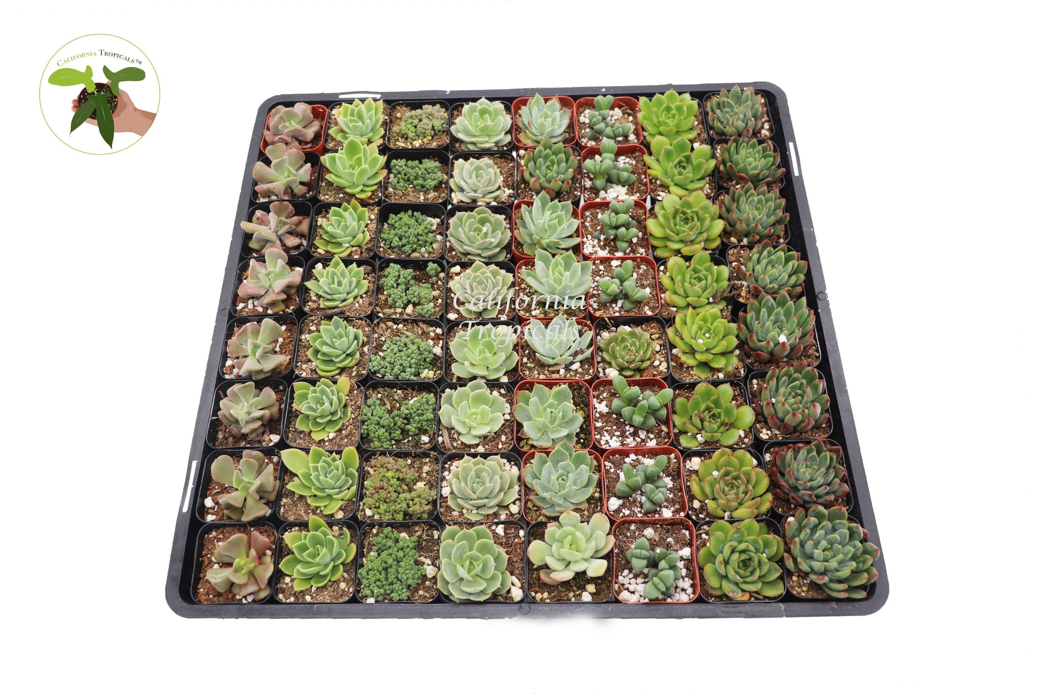 "64 Assorted Succulents and Echeverias  - 2"" From California Tropicals"