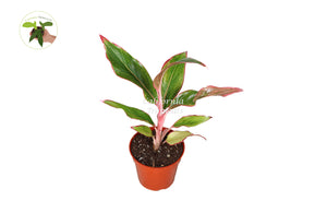 Aglaonema Creta Red - 4'' from California Tropicals