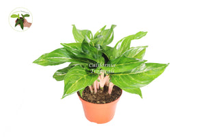Aglaonema Creta Red - 8'' from California Tropicals