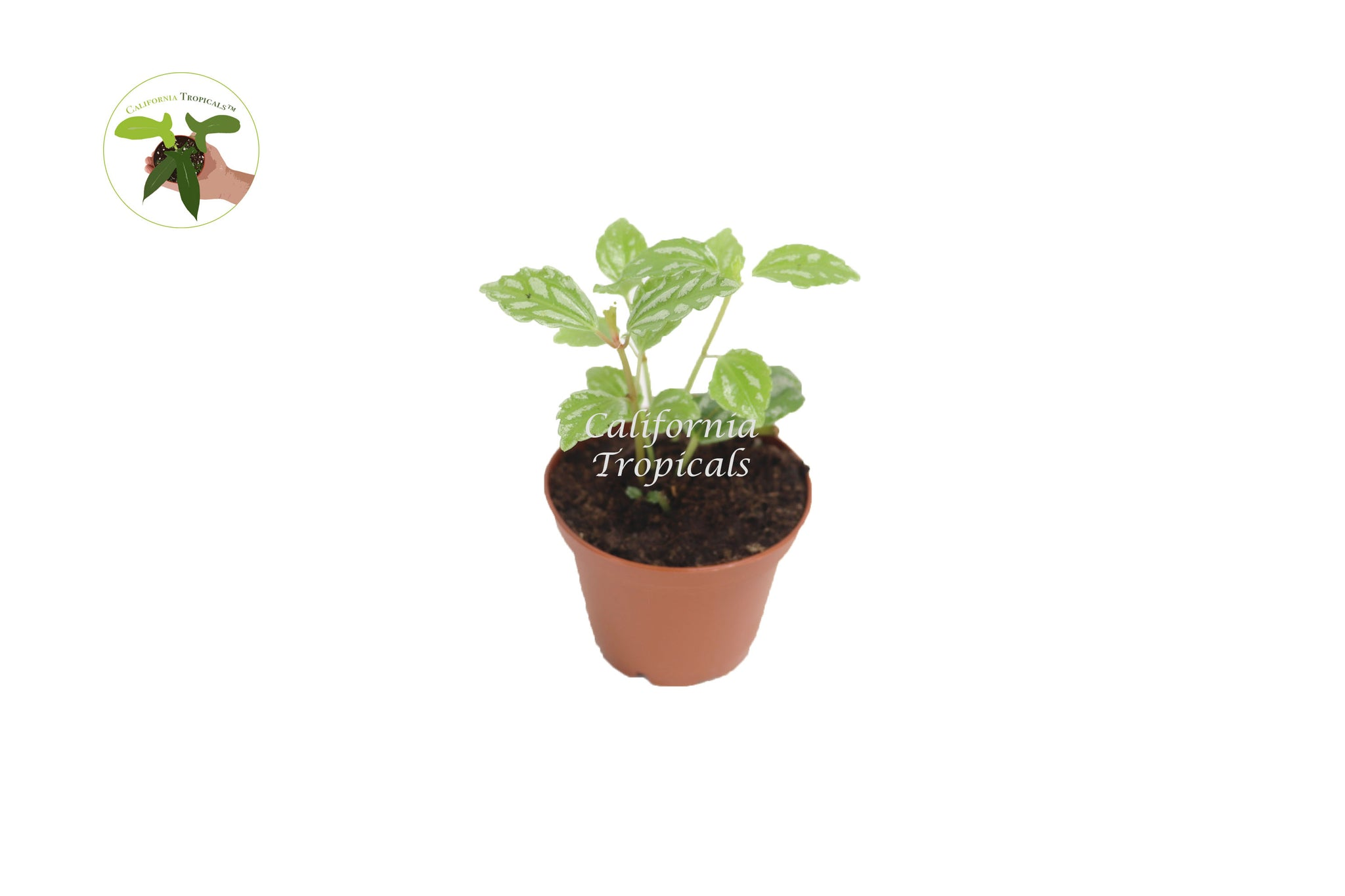 "Pilea Cadierei (Aluminum Plant) - 2"" from California Tropicals"