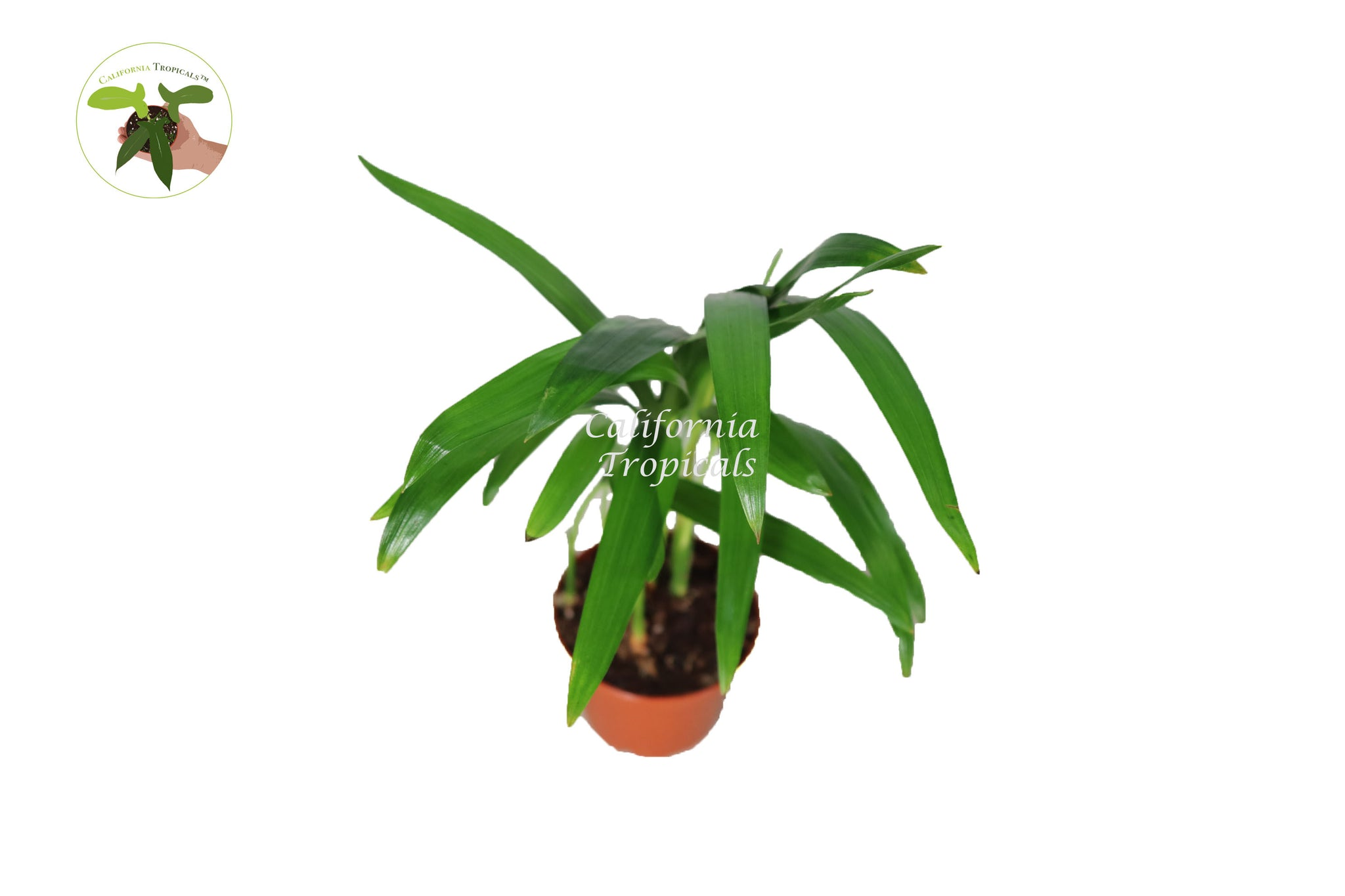 Areca Palm (Golden Cane Palm) - 3'' from California Tropicals