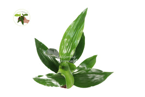 Aspidistra -6'' from California Tropicals