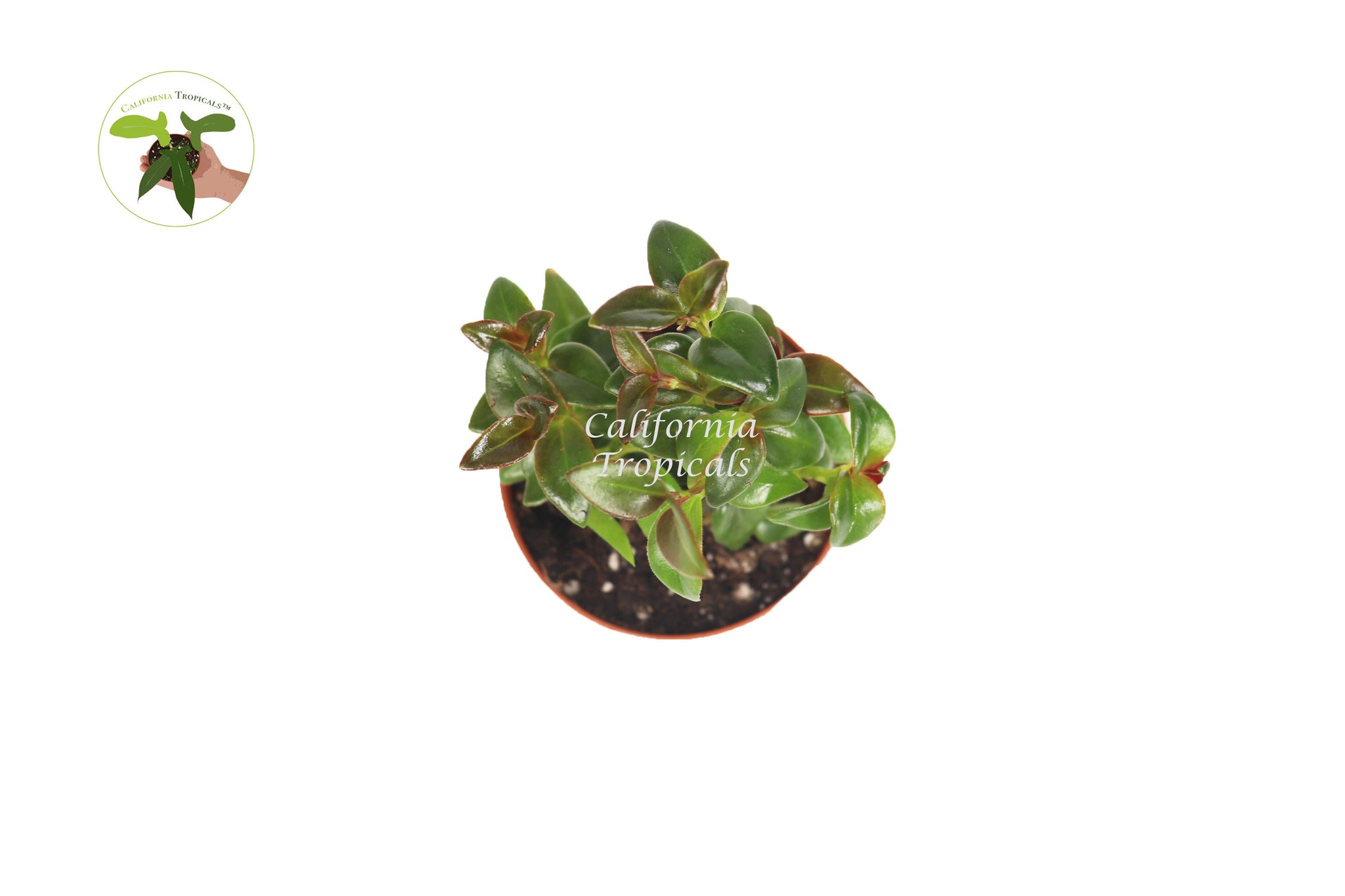 Black Goldfish Plant-2'' from California Tropicals