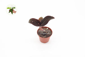 "Black Jewel Orchid - 2"" from California Tropicals"