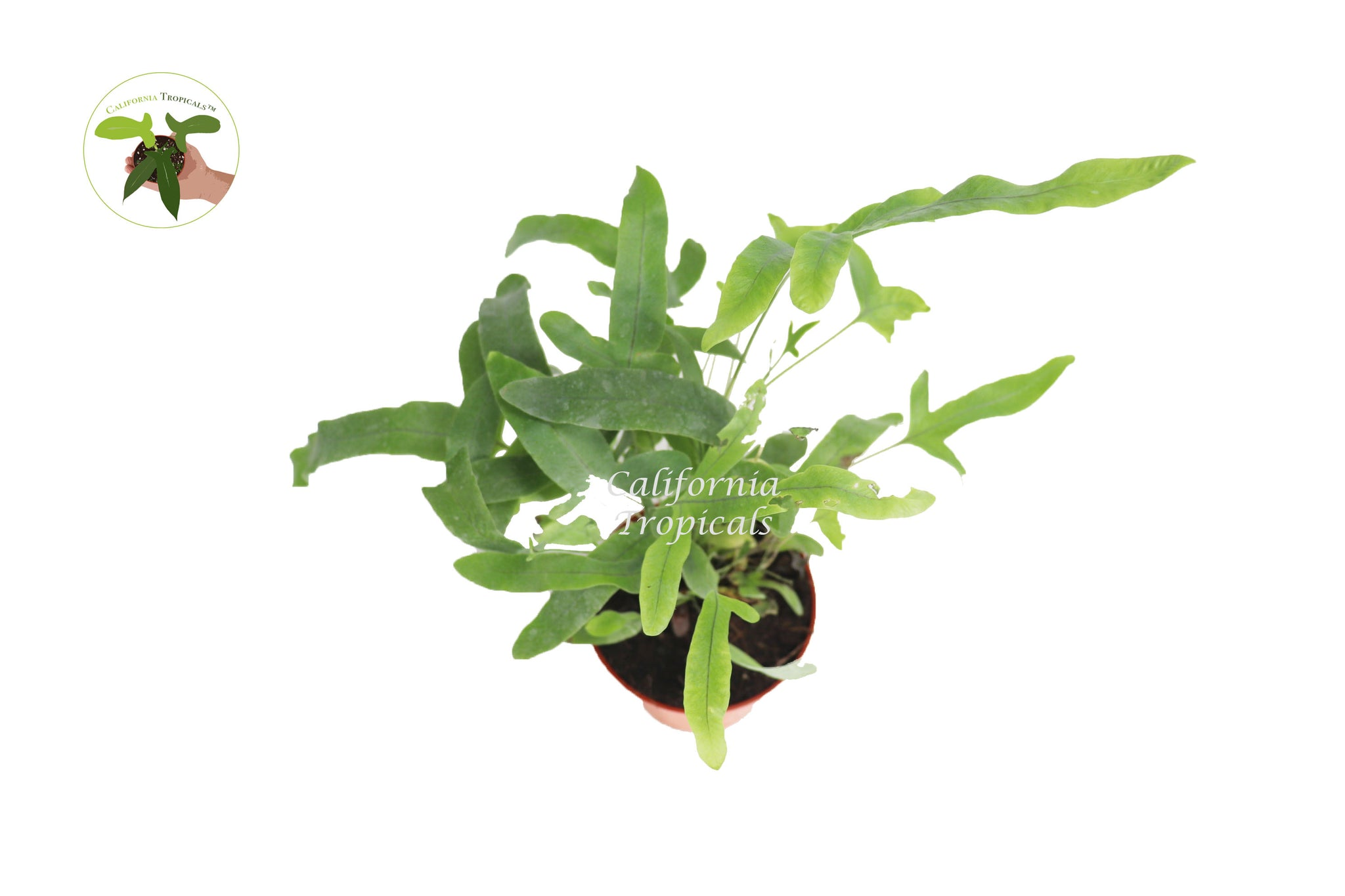 Blue Star Fern -4'' from California Tropicals