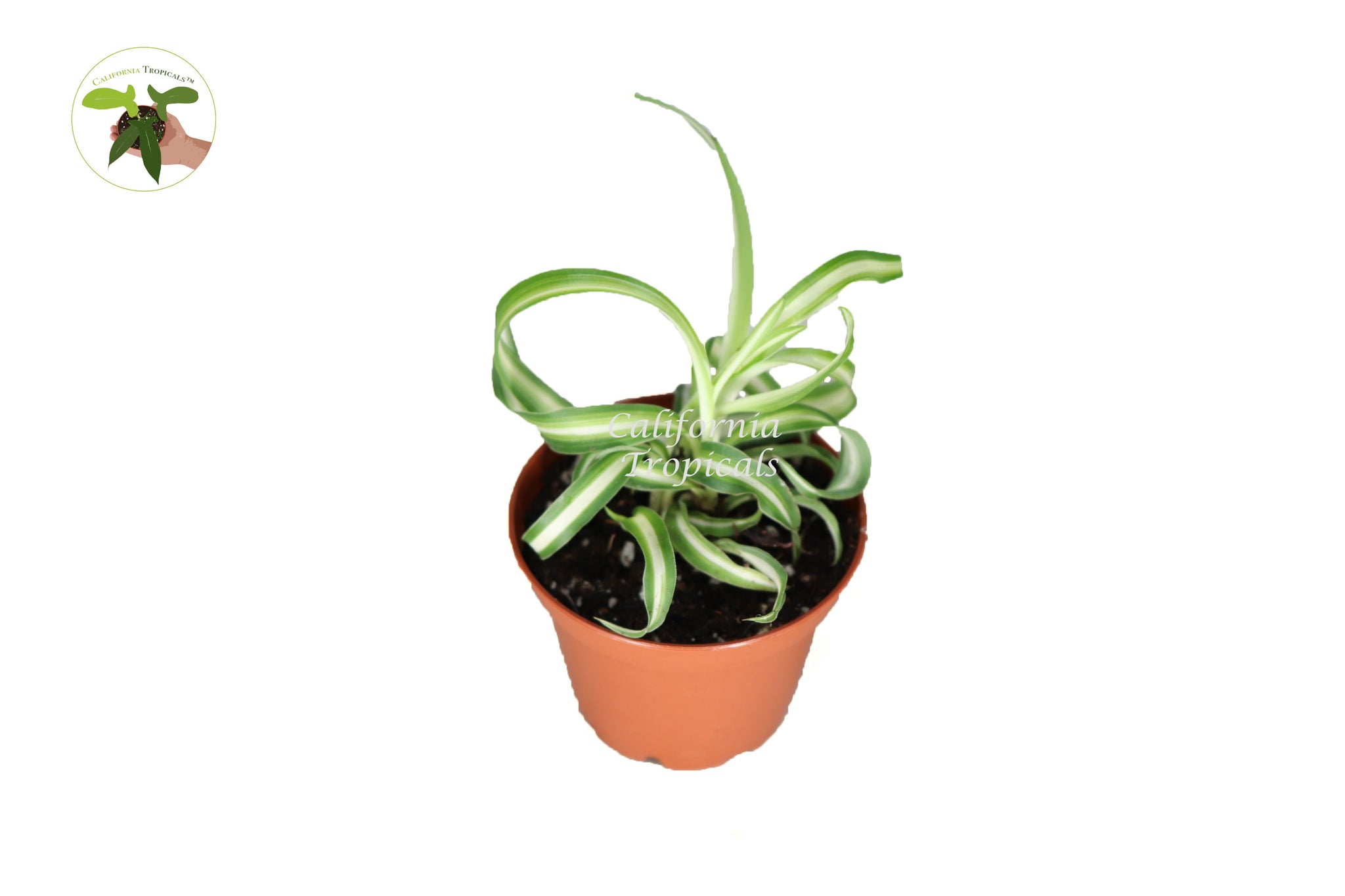 Bonnie Curly Spider Plant - 2'' from California Tropicals