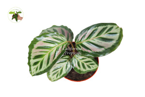 Calathea Cora - 4'' from California Tropicals