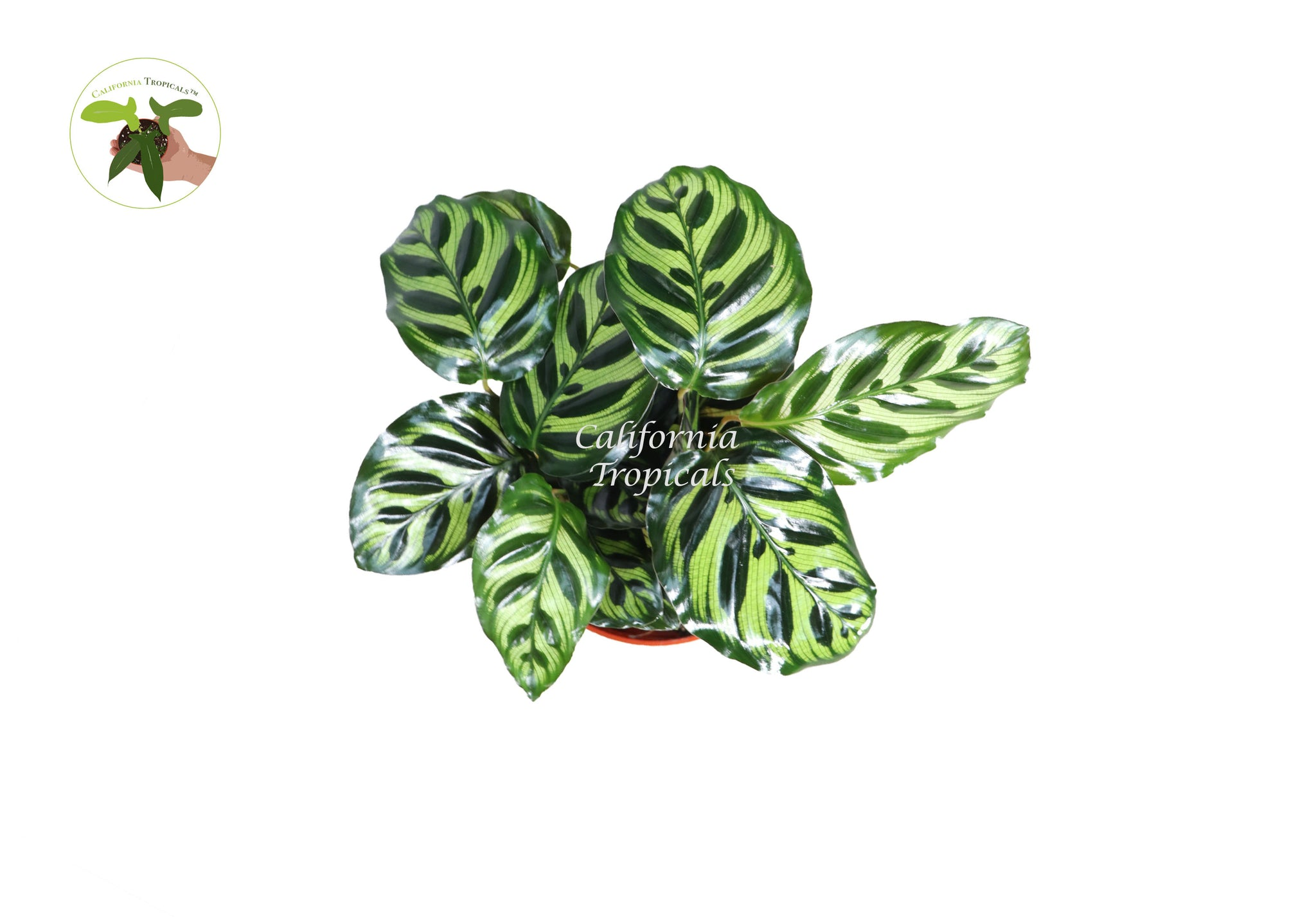 Calathea Peacock Makoyana- 6'' From California Tropicals