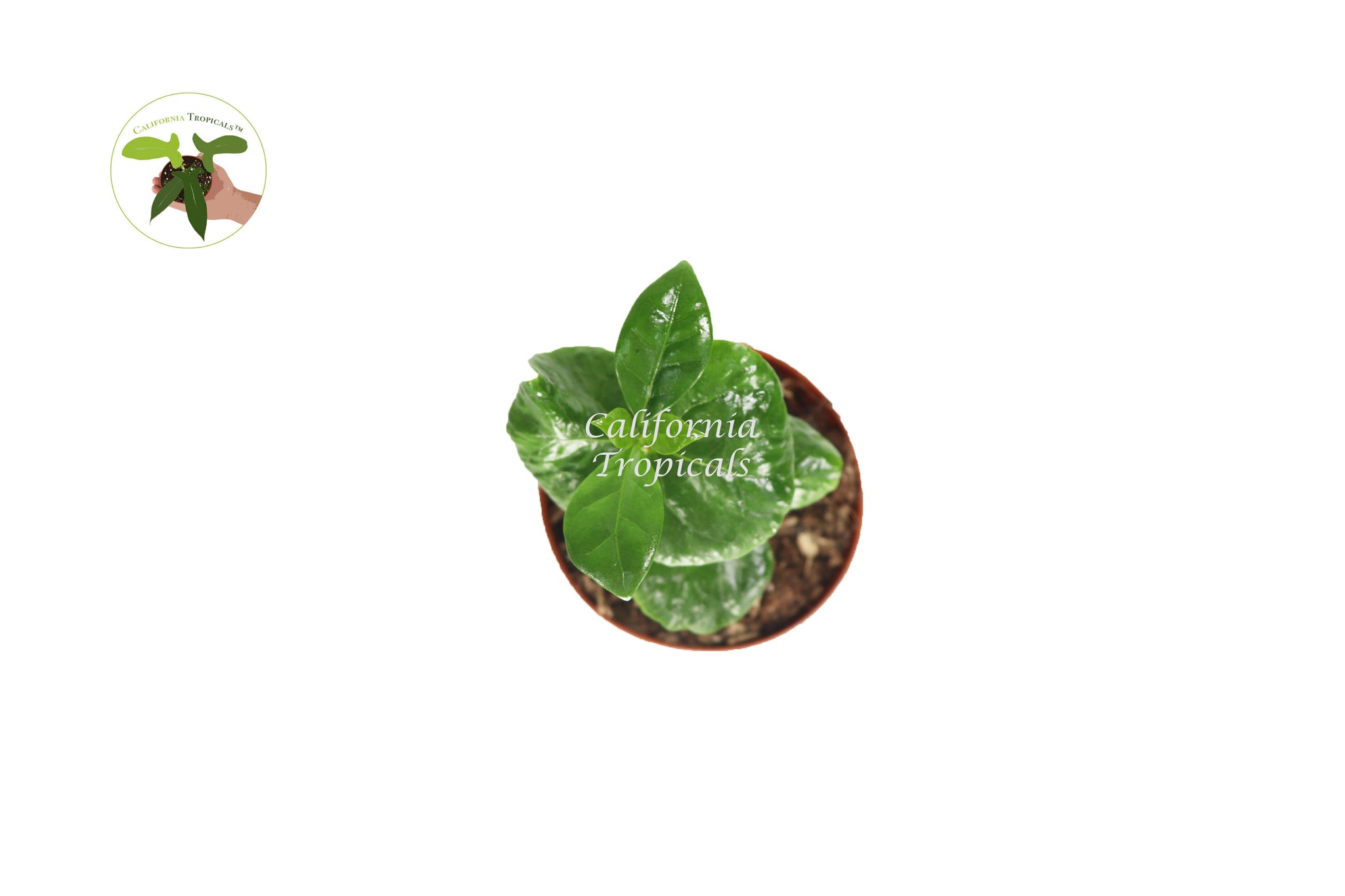 Arabica Coffee Plant - 2'' from California Tropicals