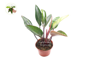 "Philodendron Congo Rojo - 8"" from California Tropicals"
