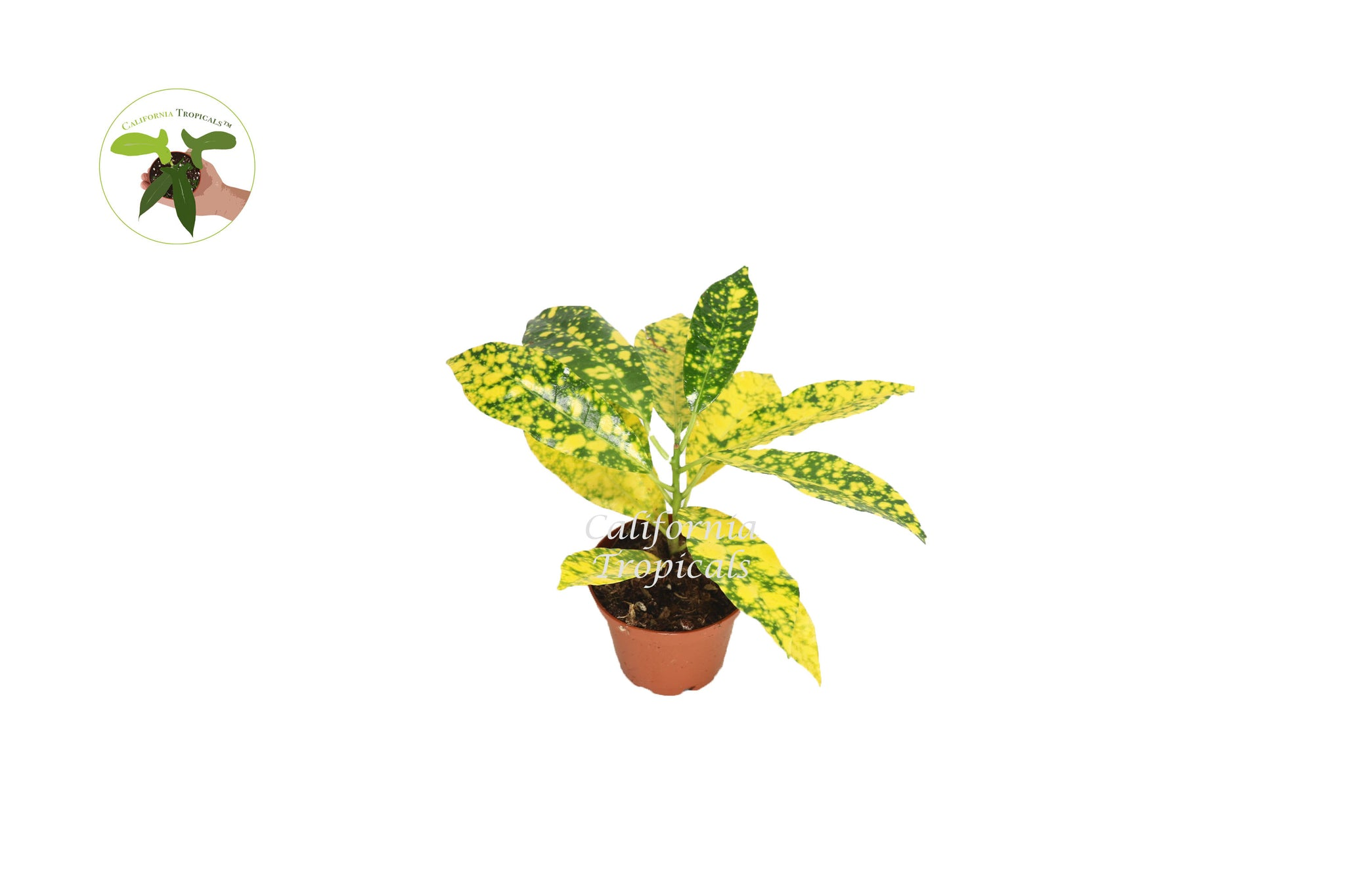 Gold Dust Croton - 2'' from California Tropicals