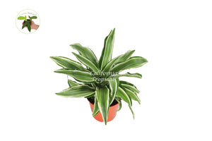 Dracaena White Jewel  - 4'' from California Tropicals
