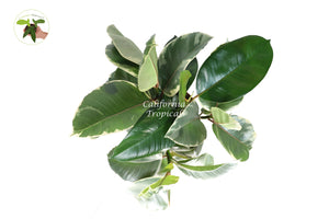 "Ficus Rubber tree decora tineke variegated 6"" from California Tropicals"