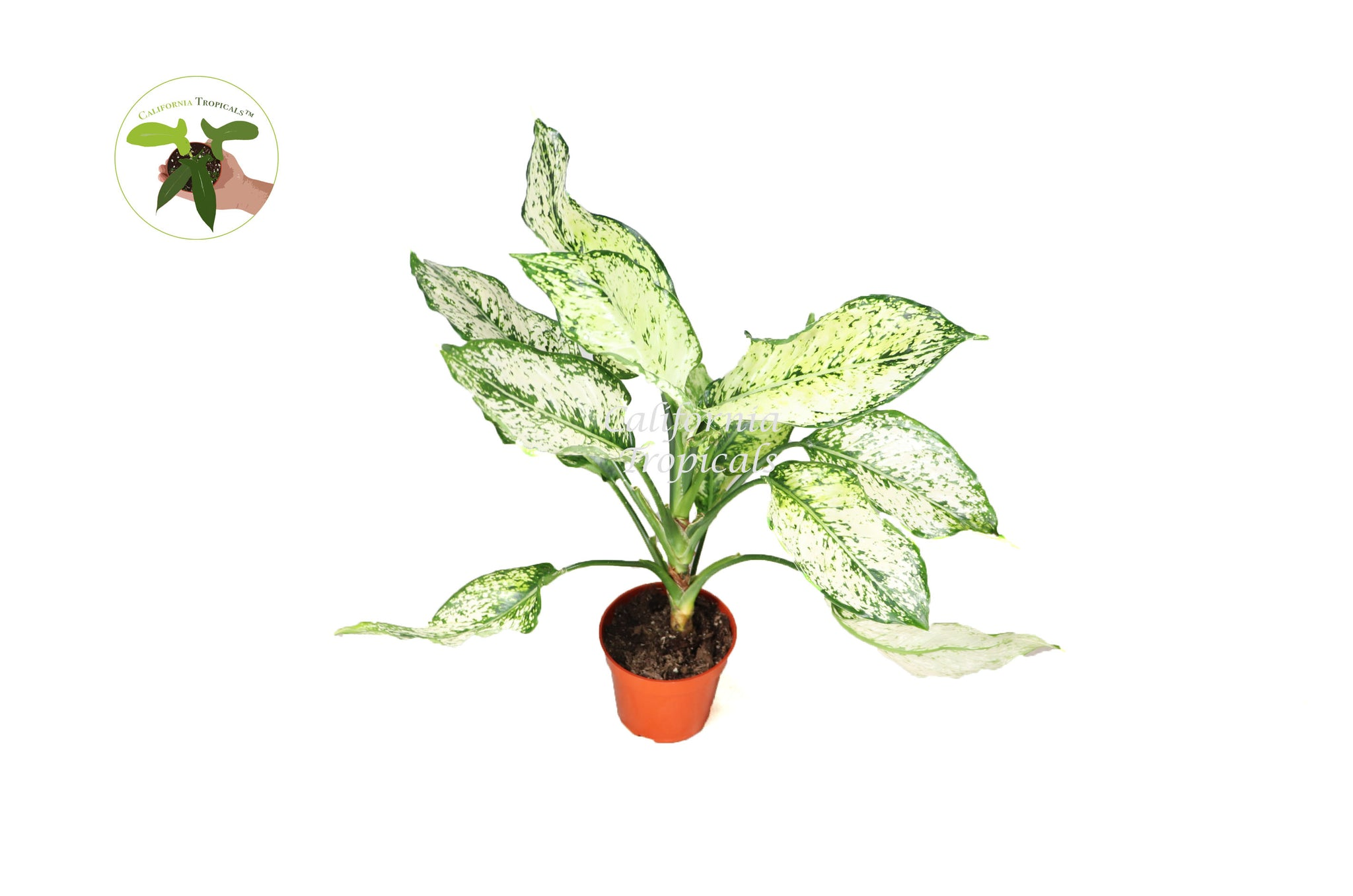 "First Diamond Aglaonema - 4"" from California Tropicals"