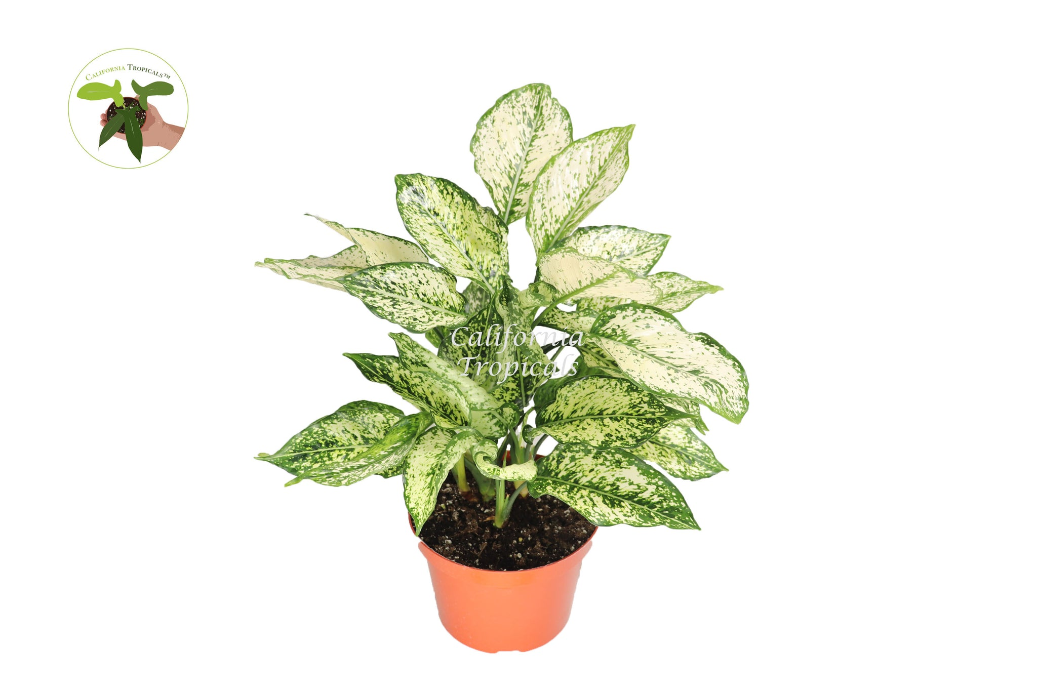 "First Diamond Aglaonema - 8"" from California Tropicals"