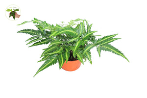 East Indian Holly Fern -6'' from California Tropicals