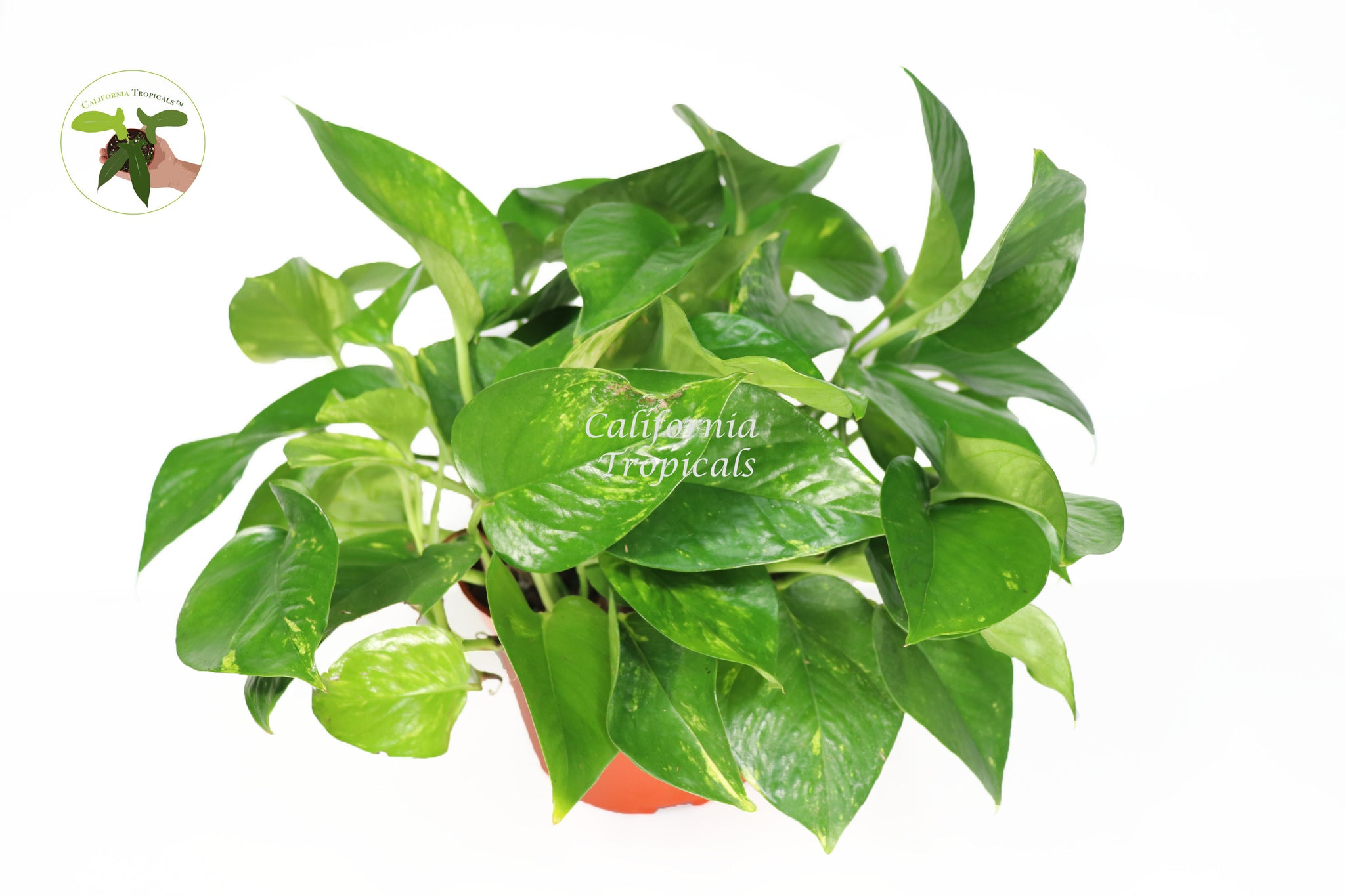 Golden Pothos - 6'' from California Tropicals