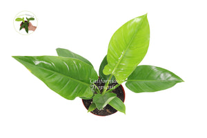 "Philodendron Imperial Green  - 8"" from California Tropicals"