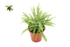 Lemon Buttons Fern - 4'' from California Tropicals