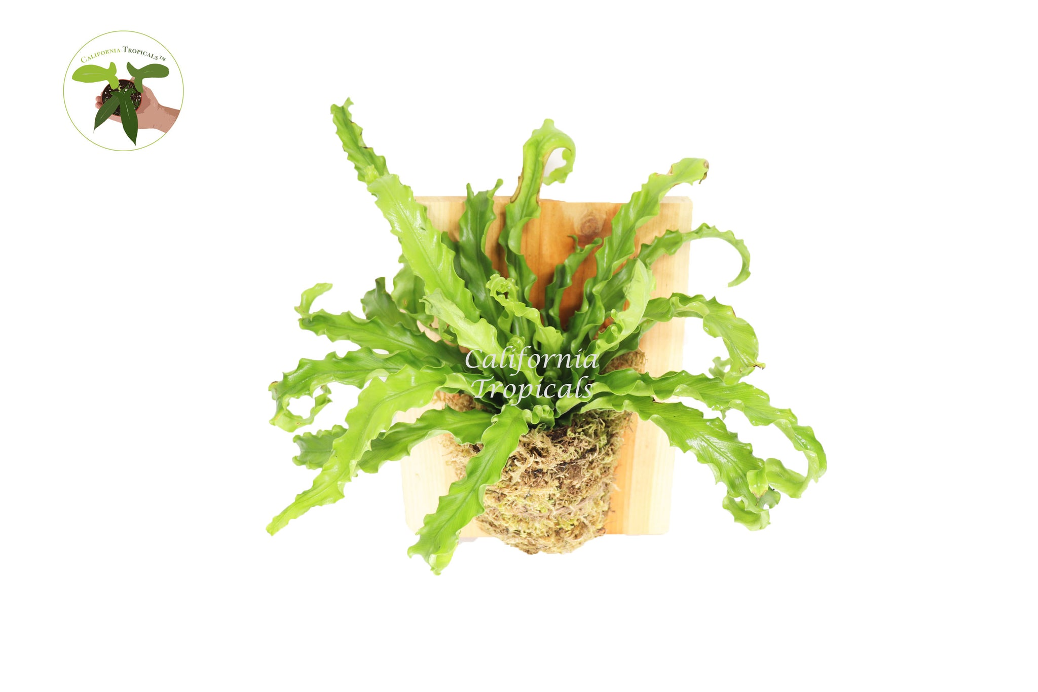 Bird's Nest 'Leslie' Fern on a Wooden Plaque from California Tropicals