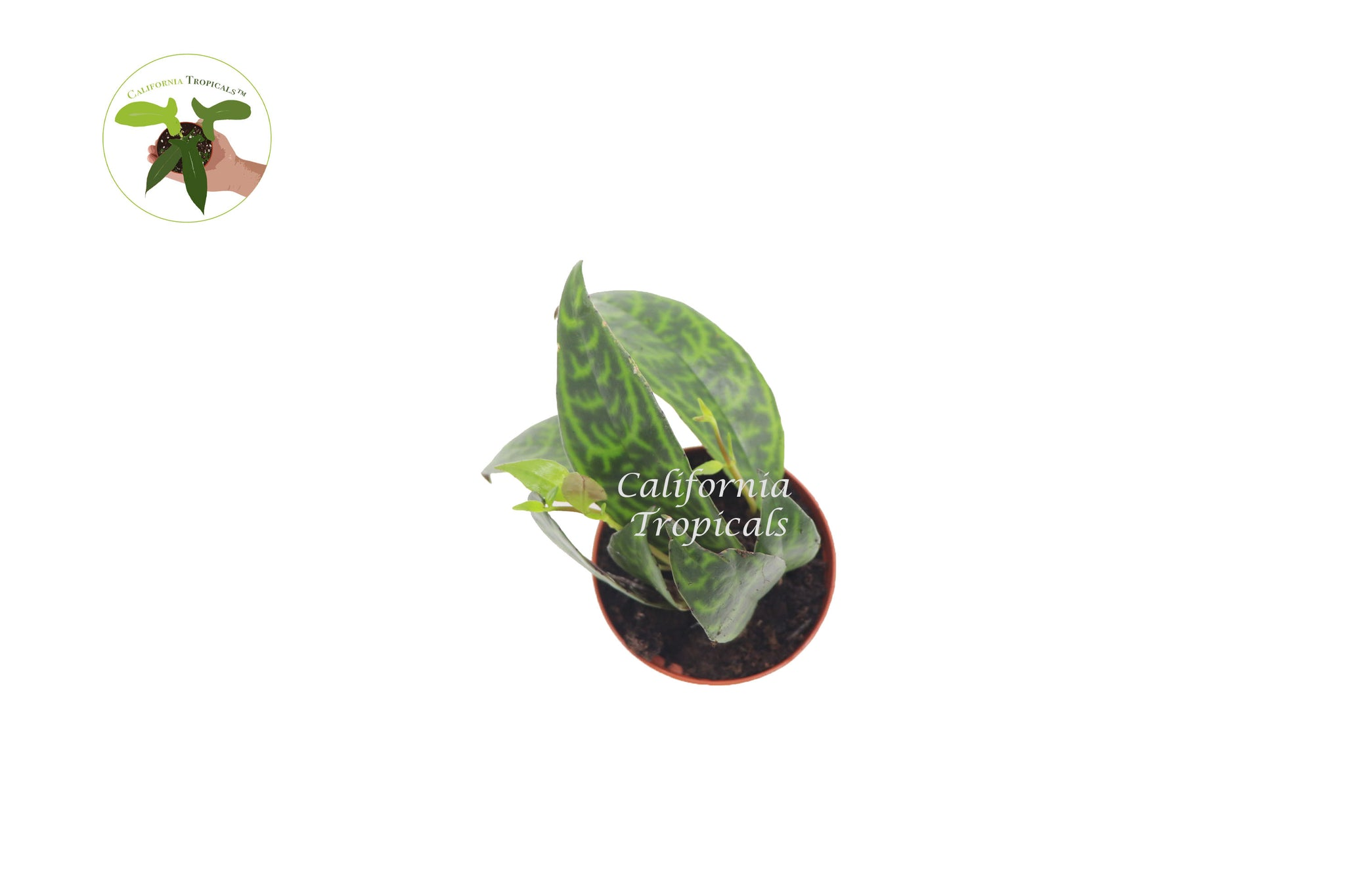 Black Pagoda (Lipstick plant)  - 2'' from California Tropicals