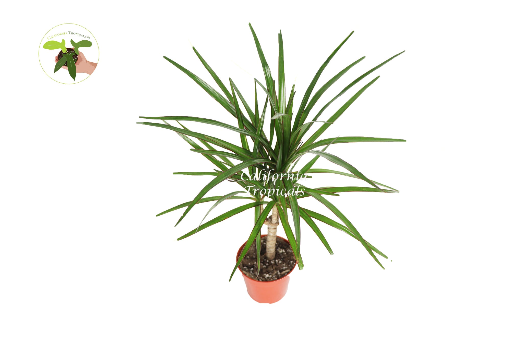 Dracaena Marginata Cane - 4'' from California Tropicals