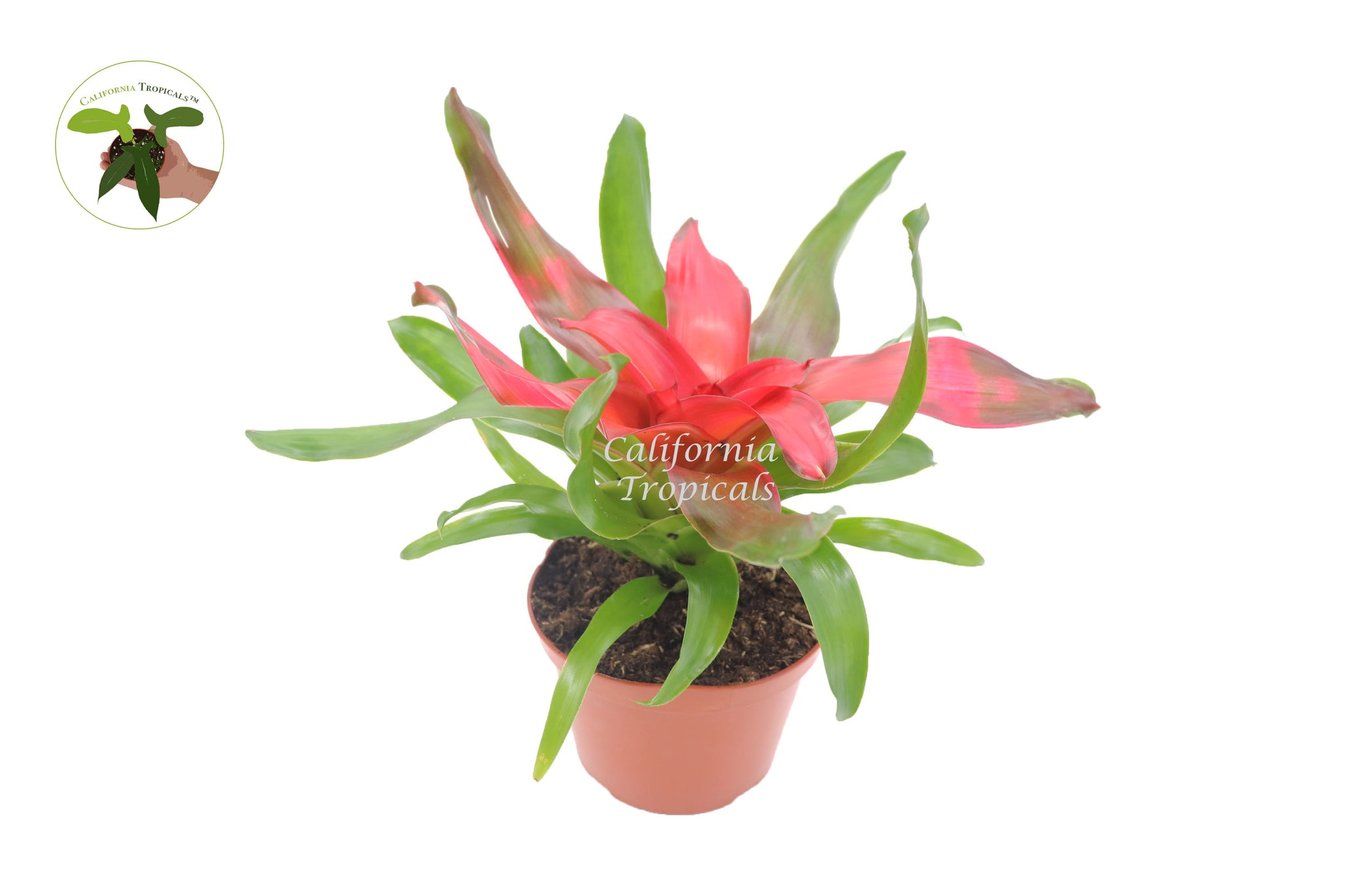 Bromeliad Neoregelia (Medusa) - 6'' from California Tropicals