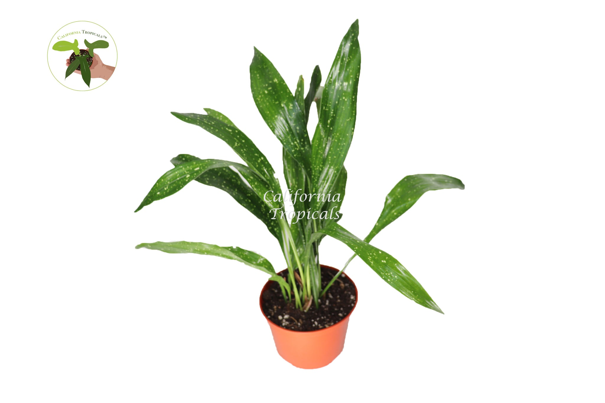 "Aspidistra Elatior 'Milky Way' - 6"" from California Tropicals"
