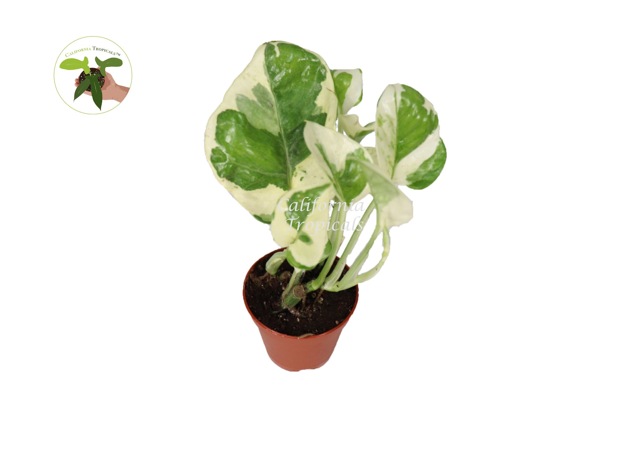 Pothos ('N Joy')  - 3'' from California Tropicals